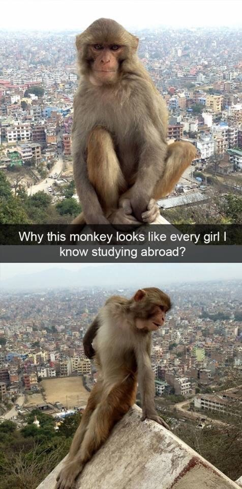 Rhesus macaque - Why this monkey looks like every girl know studying abroad?