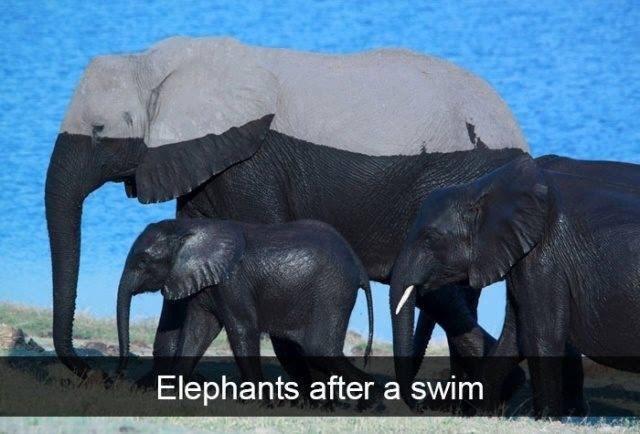 Elephant - Elephants after a swim