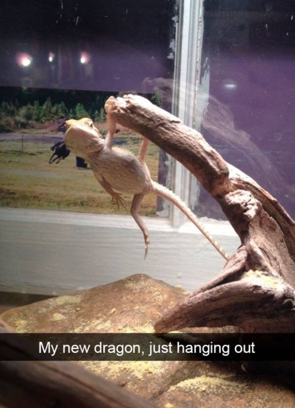 Photo caption - My new dragon, just hanging out