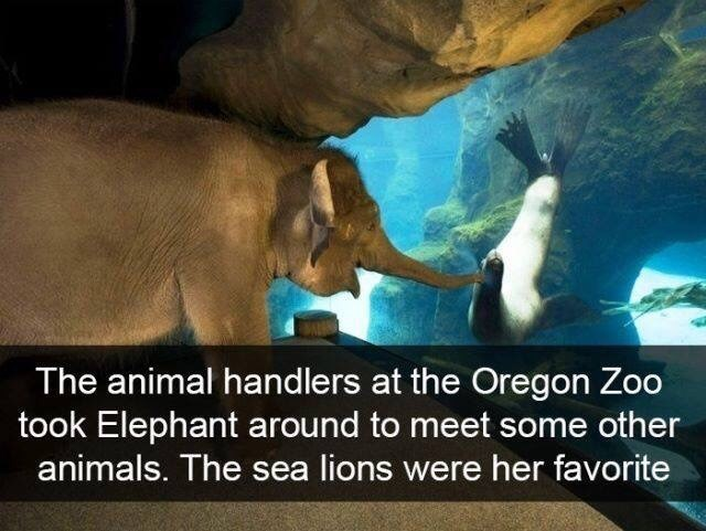 Elephant - The animal hand lers at the Oregon Zoo took Elephant around to meet some other animals. The sea lions were her favorite