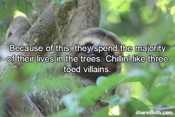 Adaptation - Because of this, they spend the majority of their lives in the trees. Chillin' like three toed villains. sharesloth.com