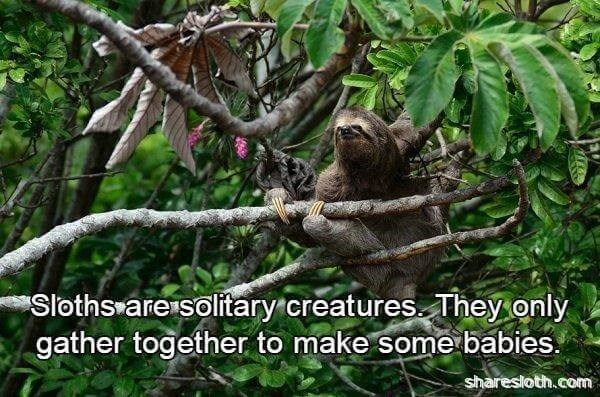 Nature reserve - Sloths are solitary.creatures They only gather together to make some babies. sharesloth.com
