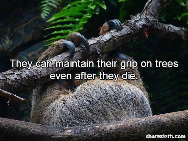 Three-toed sloth - They can maintain their grip on trees even after they die sharesloth.com