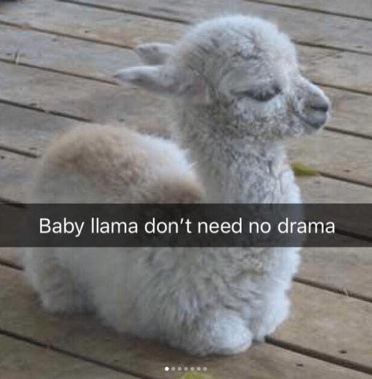 Alpaca - Baby llama don't need no drama