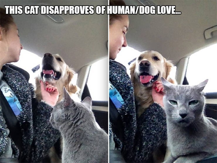 expressive - Facial expression - THIS CAT DISAPPROVES OF HUMAN/DOG LOVE.. tol