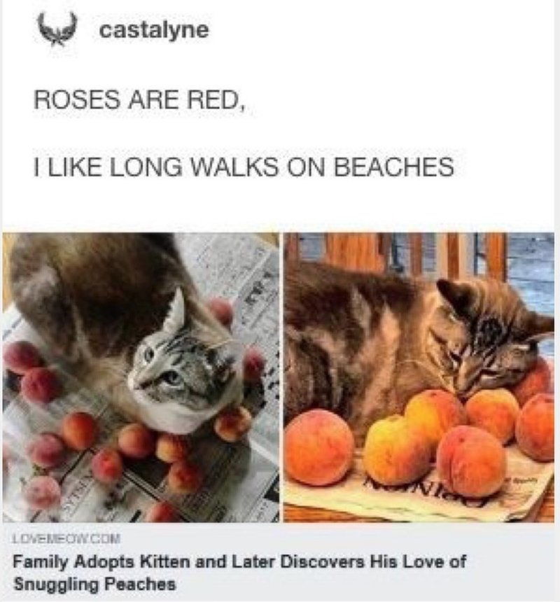 Cat - castalyne ROSES ARE RED, I LIKE LONG WALKS ON BEACHES LOVEMEOWCOM Family Adopts Kitten and Later Discovers His Love of Snuggling Peaches