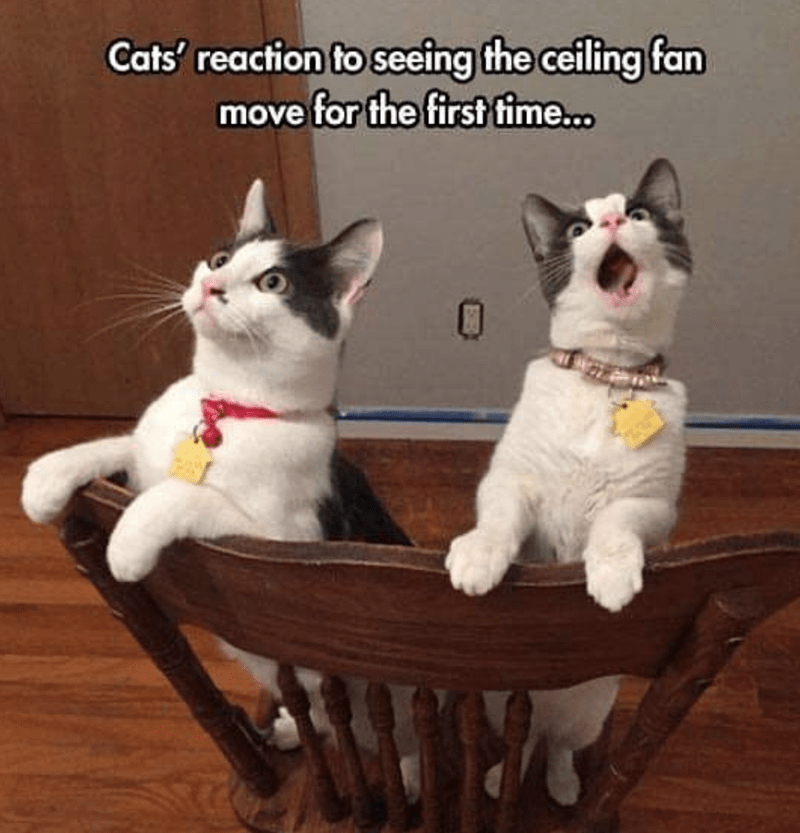 Cat - Cats' reaction to seeing the ceiling fan move for the first fime...
