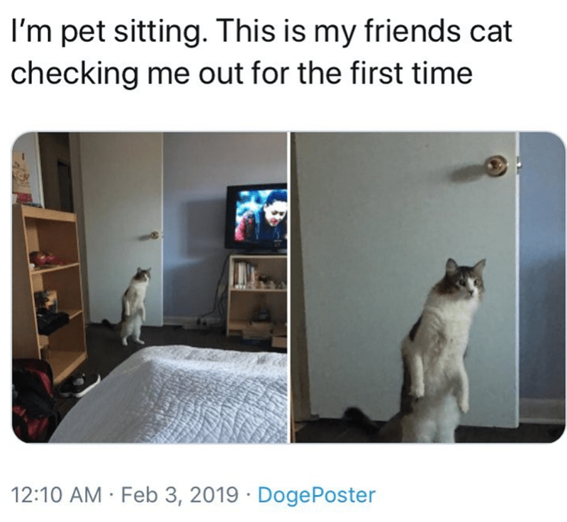 Cat - I'm pet sitting. This is my friends cat checking me out for the first time 12:10 AM Feb 3, 2019 DogePoster