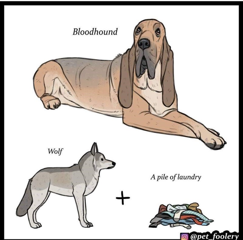 Dog - Bloodhound Wolf A pile of laundry @pet_foolery fo