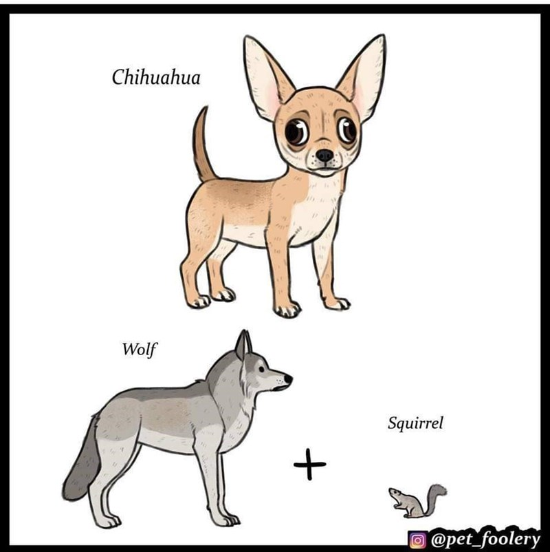 Dog - Chihuahua te Wolf Squirrel @pet_foolery
