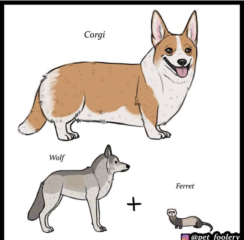 Dog - Corgi Wolf Ferret @pet foolery
