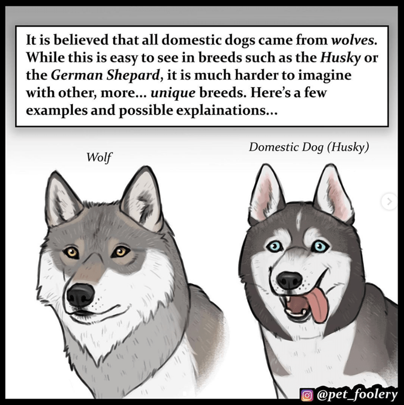 Dog - It is believed that all domestic dogs came from wolves. While this is easy to see in breeds such as the Husky or the German Shepard, it is much harder to imagine with other, more... unique breeds. Here's a few examples and possible explainations... Domestic Dog (Husky) Wolf @pet_foolery