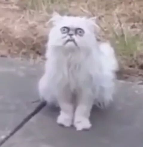 cursed image - Cat with weird facial expression