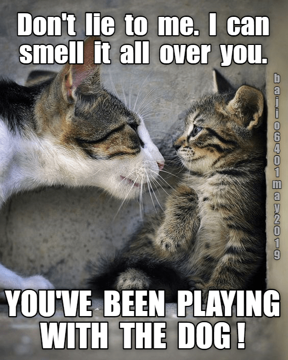 cat meme - Cat - Don't lie to me. I can smell it all over you. YOU'VE BEEN PLAYING WITH THE DOG!