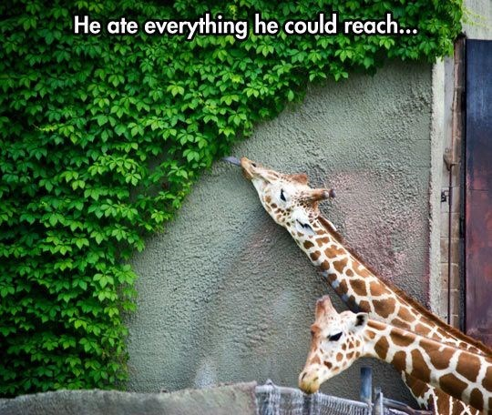wholesome memes - Giraffe - He ate everything he could reach...