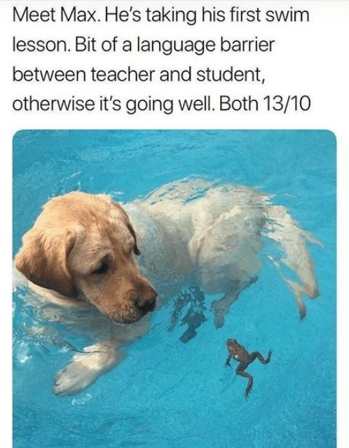 wholesome memes - Canidae - Meet Max. He's taking his first swim lesson. Bit of a language barrier between teacher and student, otherwise it's going well. Both 13/10
