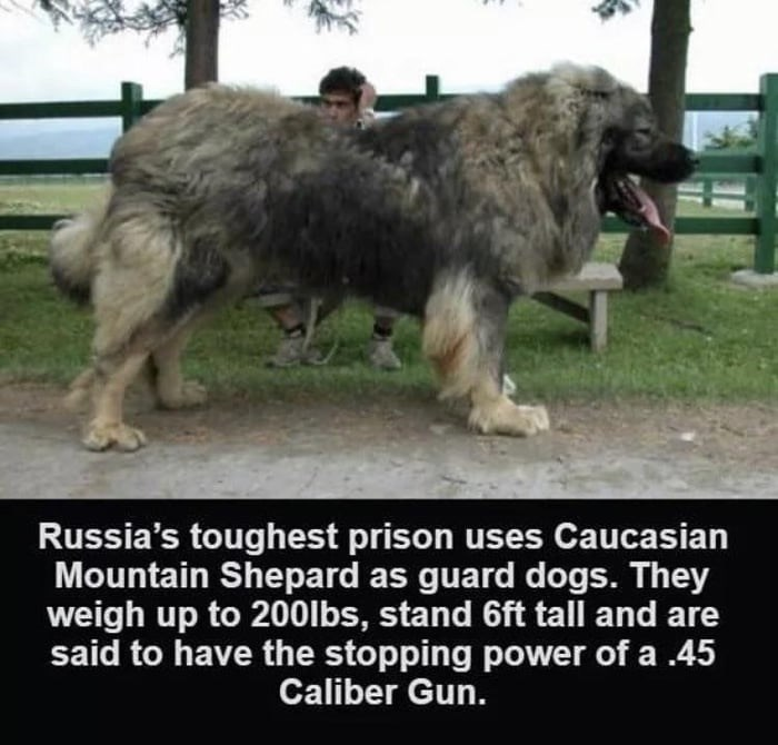 Dog - Russia's toughest prison uses Caucasian Mountain Shepard as guard dogs. They weigh up to 200lbs, stand 6ft tall and are said to have the stopping power of a .45 Caliber Gun.