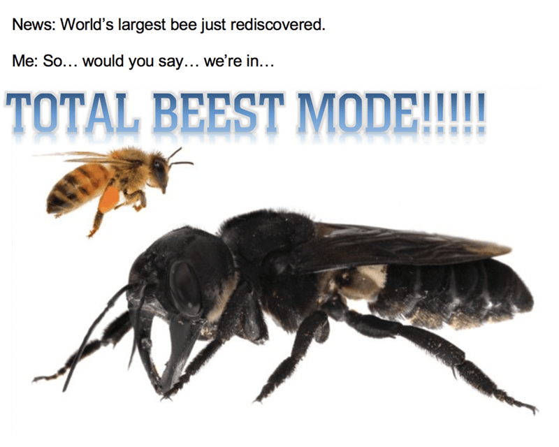 Insect - News: World's largest bee just rediscovered. Me: So... would you say... we're in... TOTAL BEEST MODE!!!!