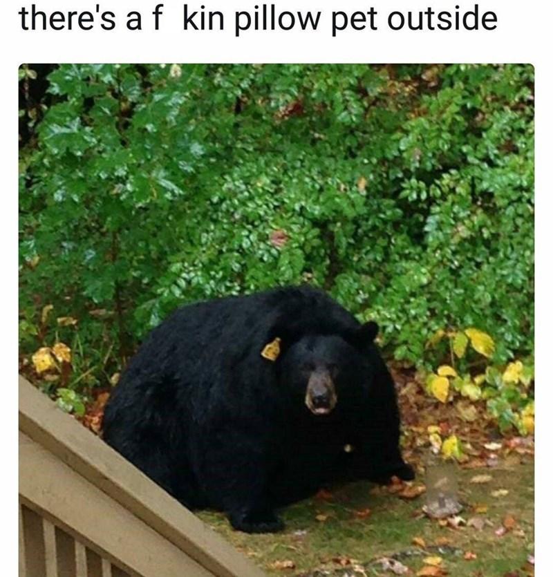 Absolute unit, fat bear
