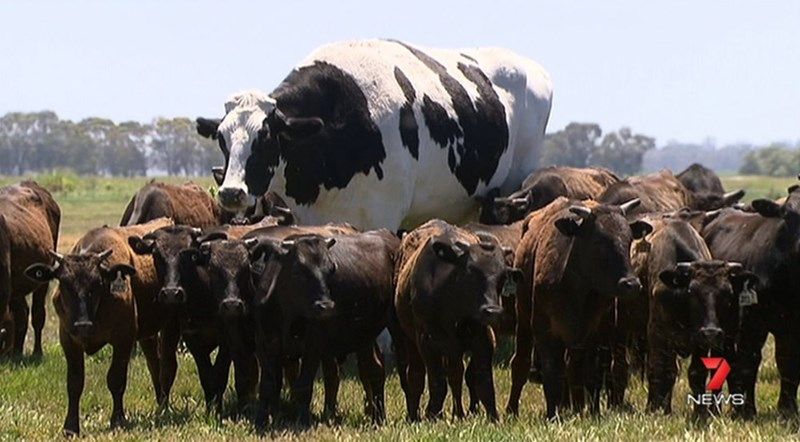 Absolute unit, giant cow in Australia