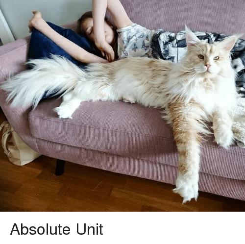 Absolute unit, large cat