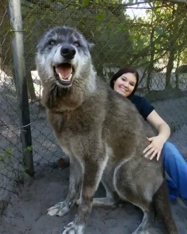 Absolute unit, large dog