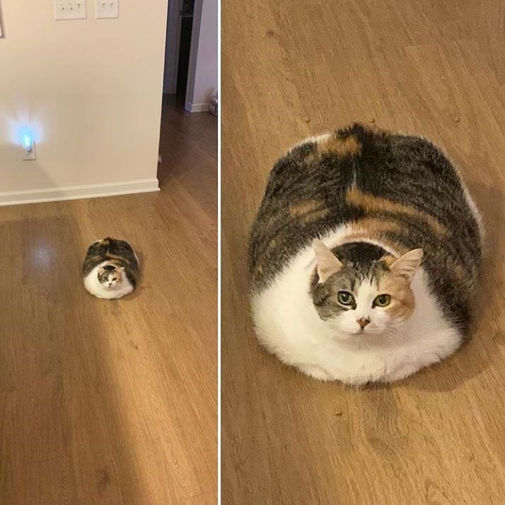 Absolute unit, fat cat