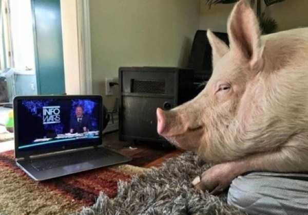 Domestic pig - INFO WARS