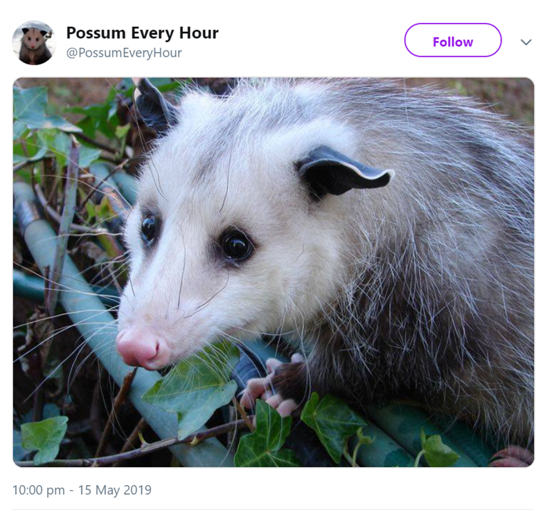 possum pics - Vertebrate - Possum Every Hour @PossumEveryHour Follow 10:00 pm 15 May 2019