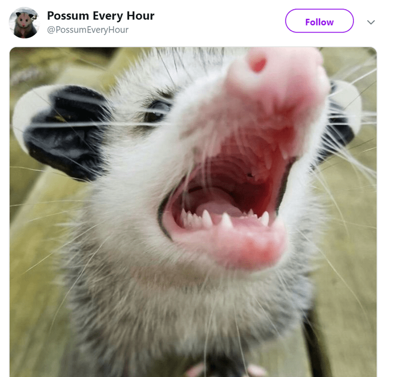 possum pics - Nose - Possum Every Hour @PossumEveryHour Follow