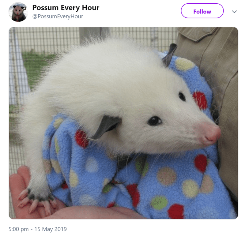 possum pics - Marsupial - Possum Every Hour @PossumEveryHour Follow 5:00 pm 15 May 2019