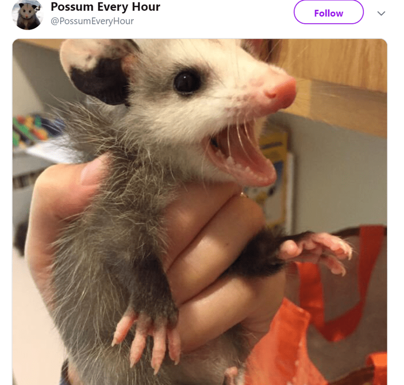 possum pics - Photo caption - Possum Every Hour @PossumEveryHour Follow