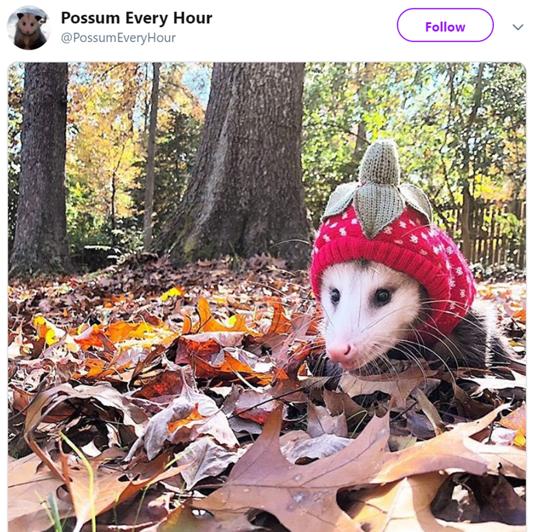 possum pics - Virginia opossum - Possum Every Hour @PossumEveryHour Follow