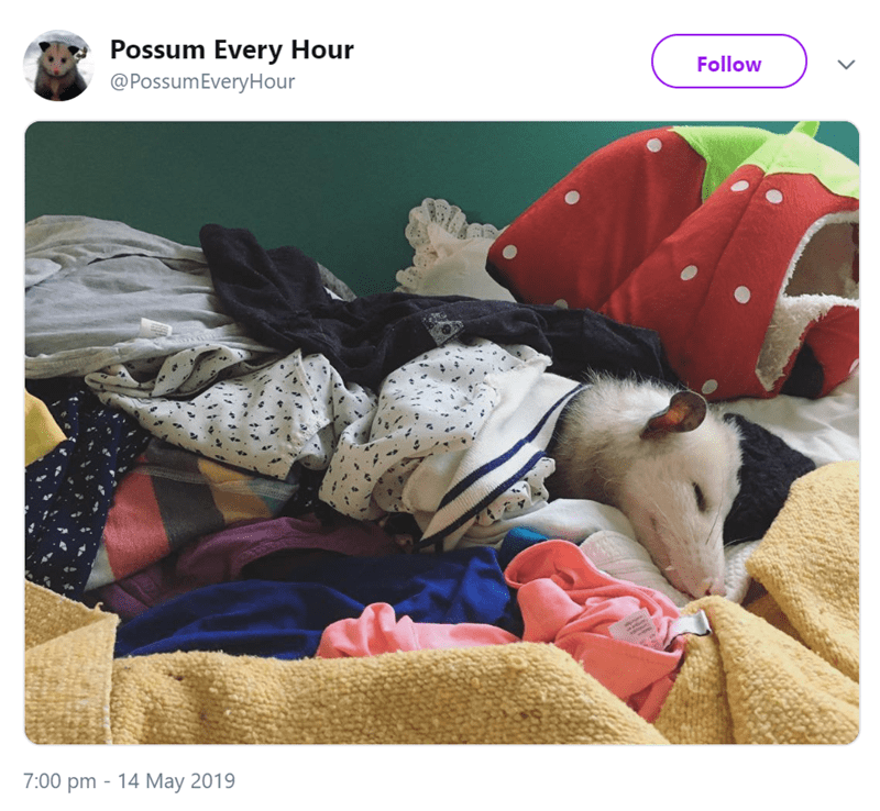 possum pics - Canidae - Possum Every Hour @PossumEveryHour Follow 7:00 pm 14 May 2019