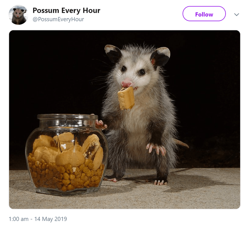 possum pics - Rat - Possum Every Hour @PossumEveryHour Follow 1:00 am - 14 May 2019