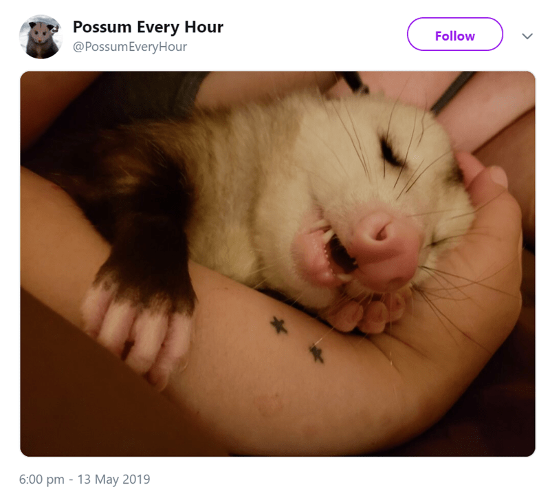 possum pics - Nose - Possum Every Hour @PossumEveryHour Follow 13 May 2019 6:00 pm