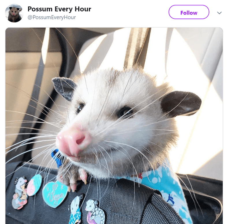 possum pics - Mammal - Possum Every Hour @PossumEveryHour Follow >