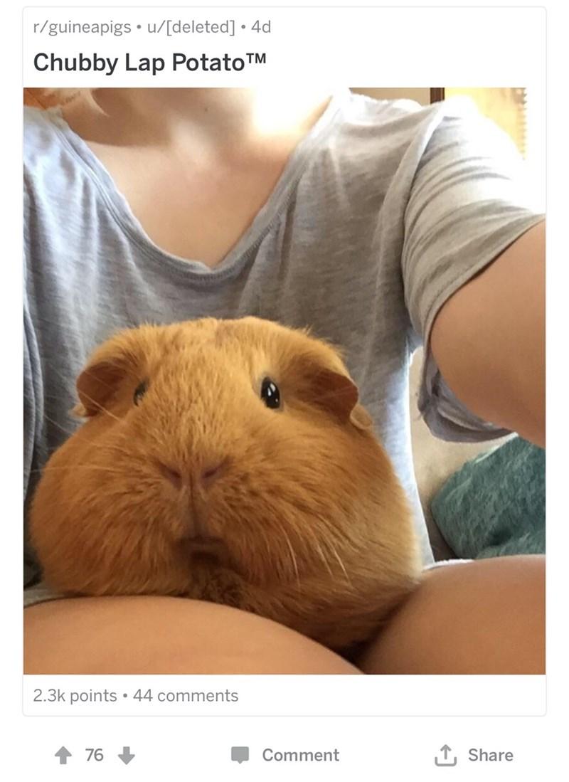 Guinea pig - r/guineapigs u/[deleted] 4d Chubby Lap PotatoTM 2.3k points 44 comments TShare 76 Comment