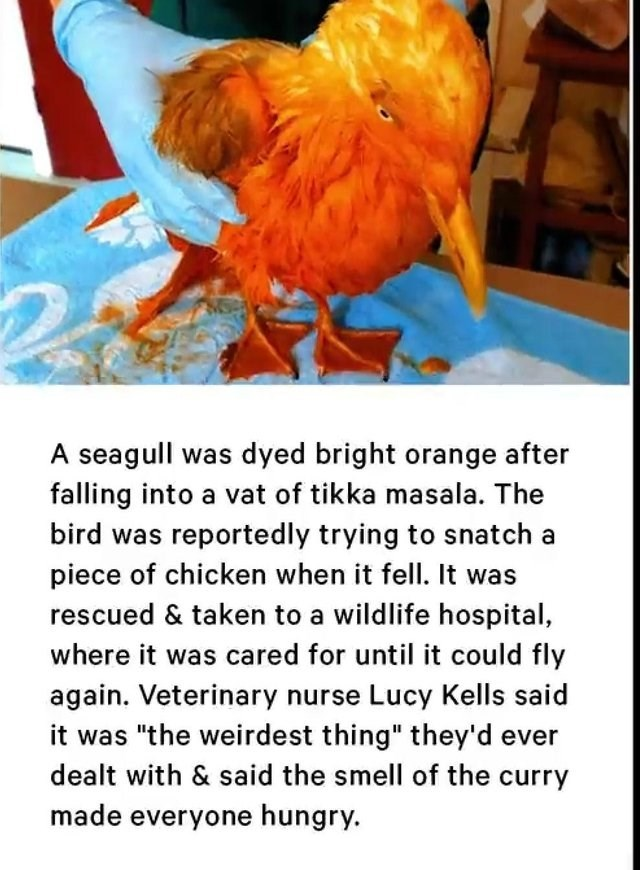 "sad moment - Chicken - A seagull was dyed bright orange after falling into a vat of tikka masala. The bird was reportedly trying to snatch a piece of chicken when it fell. It was rescued & taken to a wildlife hospital, where it was cared for until it could fly again. Veterinary nurse Lucy Kells said it was ""the weirdest thing"" they'd ever dealt with & said the smell of the curry made everyone hungry."