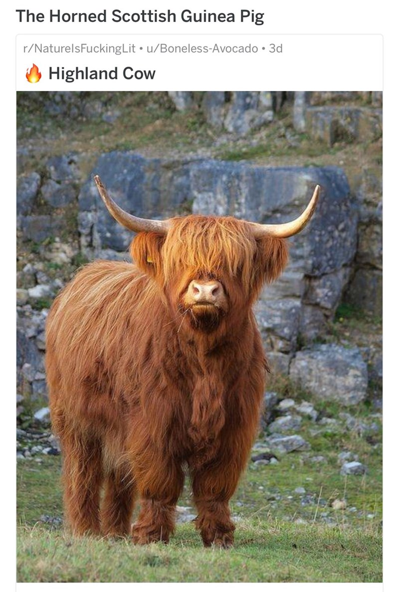 funny name - Horn - The Horned Scottish Guinea Pig r/NaturelsFuckingLit u/Boneless-Avocado 3d Highland Cow
