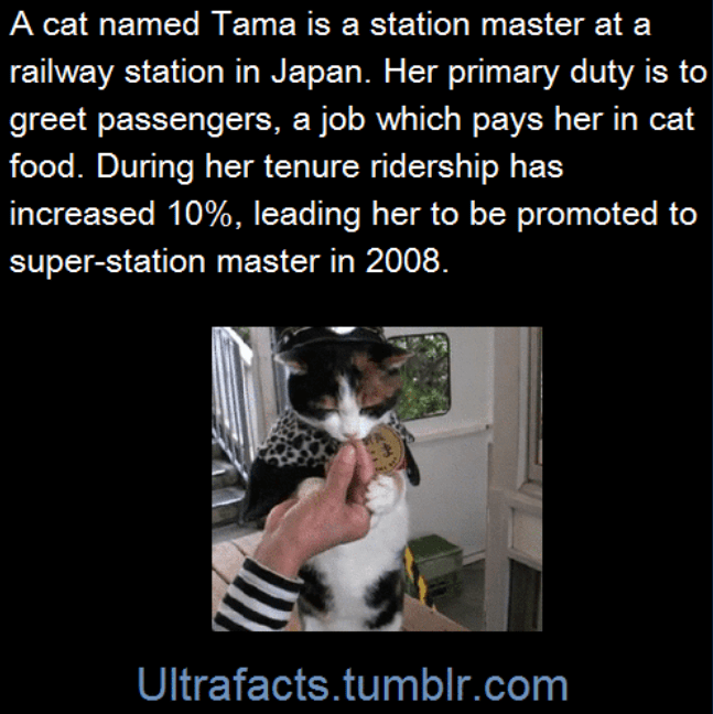 Photo caption - A cat named Tama is a station master at a railway station in Japan. Her primary duty is to greet passengers, a job which pays her in cat food. During her tenure ridership has increased 10%, leading her to be promoted to super-station master in 2008. Ultrafacts.tumblr.com