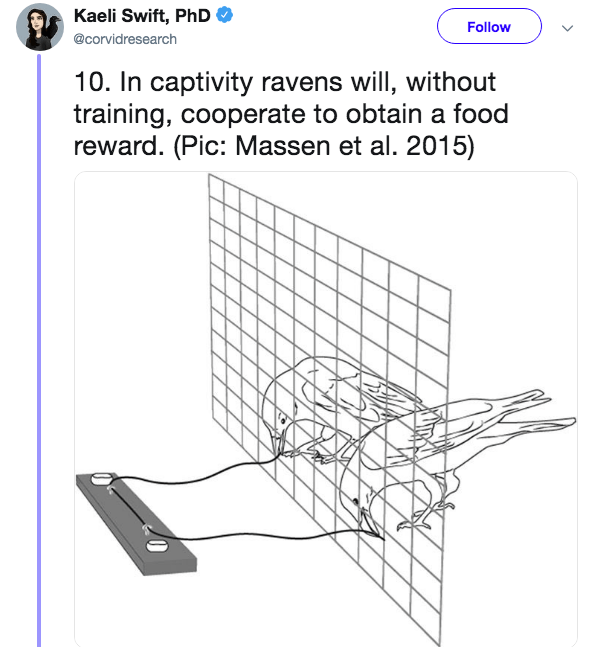 Diagram - Kaeli Swift, PhD Follow @corvidresearch 10. In captivity ravens will, without training, cooperate to obtain a food reward. (Pic: Massen et al. 2015)