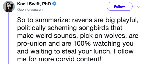 Text - Kaeli Swift, PhD Follow @corvidresearch So to summarize: ravens are big playful, politically scheming songbirds that make weird sounds, pick on wolves, are pro-union and are 100% watching you and waiting to steal your lunch. Follow me for more corvid content!