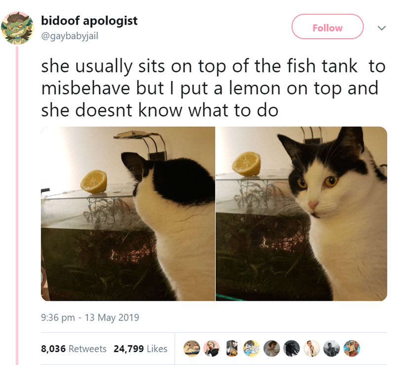 Cat - bidoof apologist Follow @gaybabyjail she usually sits on top of the fish tank to misbehave but I put a lemon on top and she doesnt know what to do 9:36 pm 13 May 2019 8,036 Retweets 24,799 Likes