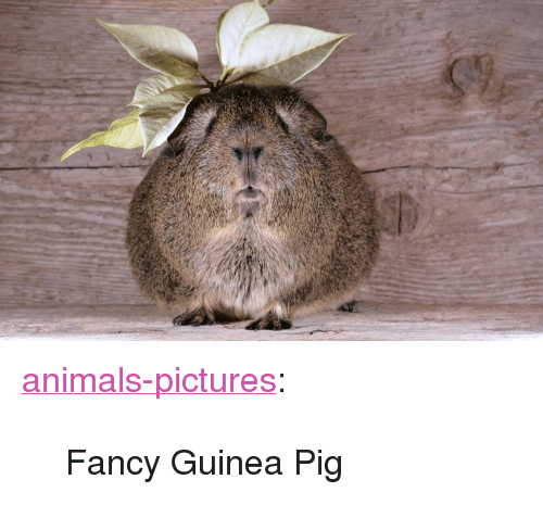 Organism - animals-pictures: Fancy Guinea Pig