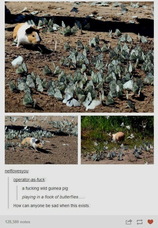 Adaptation - nelflovesyou operator-as-fuck fucking wild guinea pig playing in a flock of butterflies. How can anyone be sad when this exists. 128,580 notes