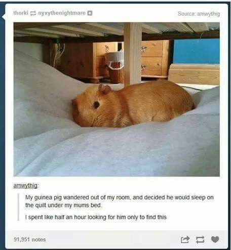 Capybara - thorki nyxythenightmare Source: amwythig amwythig My guinea pig wandered out of my room, and decided he woukd sieep on the quilt under my mums bed I spent like half an hour looking for him only to find this 91,951 notes