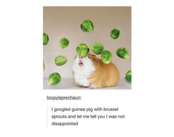 Hamster - loopyleprechaun: I googled guinea pig with brussel sprouts and let me tell you I was not disappointed