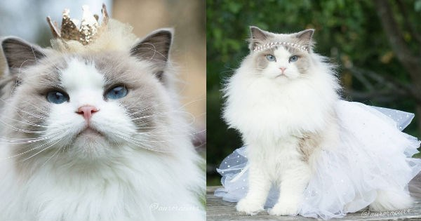 elegant princess floof Fluffy instagram rag doll Cats royal