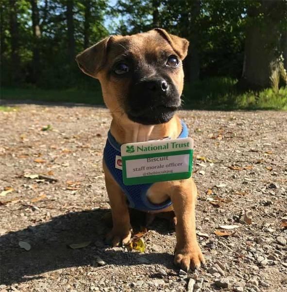 Dog - National Trust Biscuit staff morale officer ethebiscuitiug